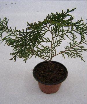 KBHoldings 축령산 편백나무 묘목 : 3) 3년생 편백나무 묘목 (25 ~ 30 Cm)