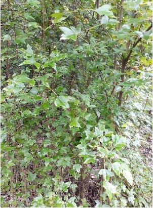 KBHoldings 나무 묘목 : 6) 당단풍(중국단풍나무)