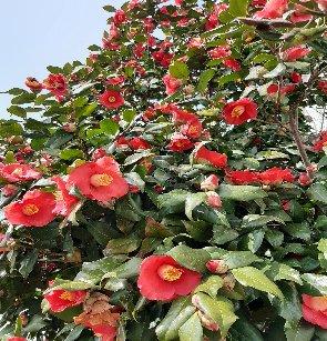 KBHoldings 나무 묘목 : 8) 동백나무(홑동백/분홍동백)