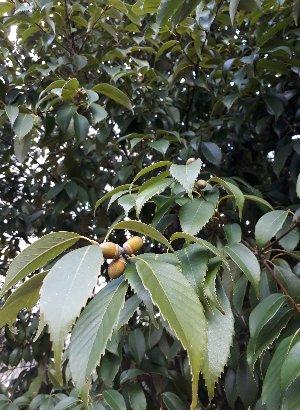 KBHoldings 나무 묘목 : 23) 종가시나무