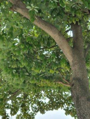 KBHoldings 나무 묘목 : 20) 녹나무