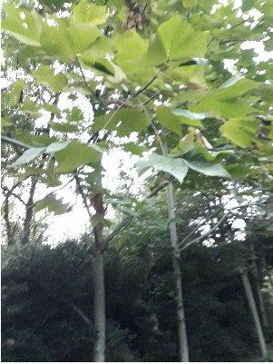 24) KBHoldings 벽오동나무 묘목