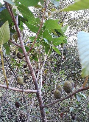 KBHoldings 나무 묘목 : 33) 사방오리나무