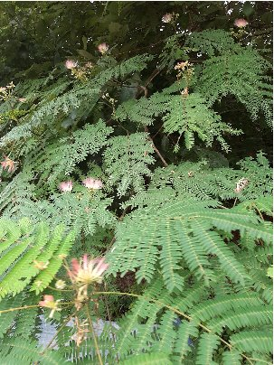 KBHoldings 나무 묘목 : 44) 자귀나무