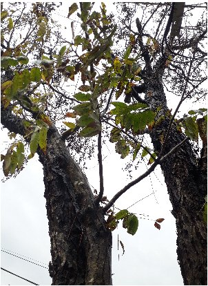 KBHoldings 나무 묘목 : 46) 참죽나무