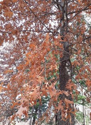 KBHoldings 나무 묘목 : 37) 대왕참나무(핀오크)