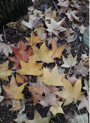 KBHoldings 나무 묘목 : 48) 풍나무(미국풍나무/미국단풍나무)