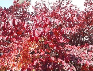KBHoldings 나무 묘목 : 49) 미국산딸나무