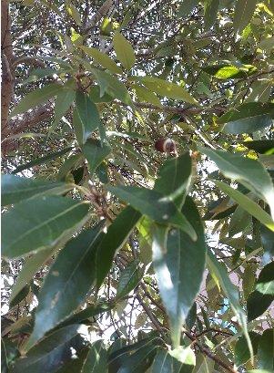 KBHoldings 나무 묘목 : 50) 가시나무