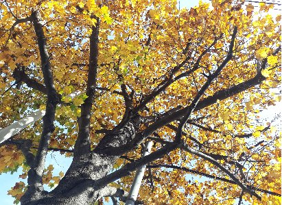 KBHoldings   백합나무(목백합, 튤립나무)