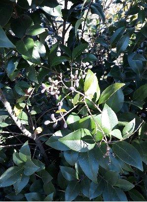 KBHoldings 광나무 묘목
